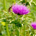 Pegasti badelj Je zdravilno zelišče s katerim se zdravijo tudi žolčni kamni