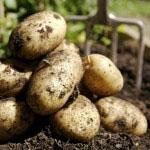 Krompir vsebuje med drugim tudi pet različnih potencialnih alergenov.