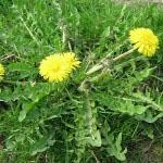 Listi regrata so zelo priporočljivi za uživanje v obliki solat, če trpite za boleznimi ščitnice.