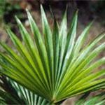 Jagode pritlikave palme za prostato