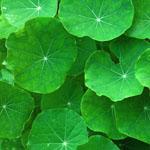 gotu kola rastlina se že dolgo uporablja za najrazličnejše kožne bolezni