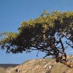 Mira je rastlina, ki pomaga pri preprečevanju okužb