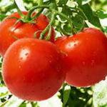 Alergične reakcije po zaužitju paradižnika so povečini hitre.