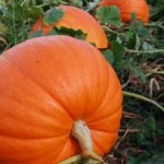 Jedilne buče so odličen vir beta karotena, iz katerega se v telesu proizvaja vitamin A.