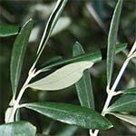 oljčni listi